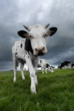 黑色小牛白色 免版税库存照片