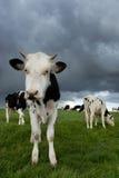 黑色小牛白色 免版税库存图片