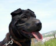 黑色小狗sharpey排序 图库摄影