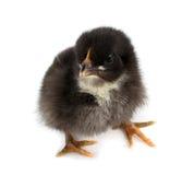 黑色小鸡 免版税库存图片