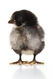 黑色小鸡 免版税图库摄影