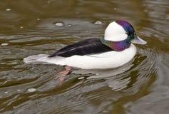 黑色小鸭鸭子白色 库存照片