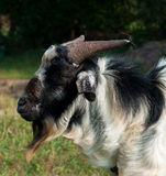 黑色山羊纵向 免版税库存图片