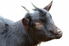 黑色山羊 库存图片