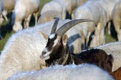 黑色山羊 免版税库存照片