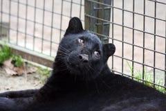 黑色崽豹 库存照片