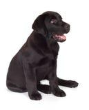 黑色巧克力拉布拉多小狗猎犬 免版税库存照片