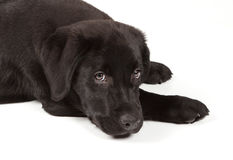 黑色巧克力拉布拉多小狗猎犬 免版税图库摄影