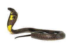 黑色巴基斯坦眼镜蛇 免版税库存照片