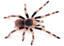 黑色巴西塔兰图拉毒蛛白色 库存图片