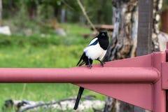 黑色开帐单的鹊, 12点活字hudsonia 库存照片