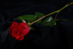 黑色开花花红色上升了 免版税库存图片