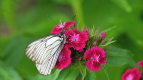 黑色成脉络的白色蝴蝶 影视素材