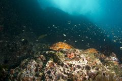 黑色技巧石斑鱼-鲶科鱼Fasciatus 库存图片