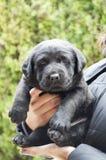 黑色拉布拉多小狗 免版税库存照片