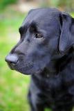 黑色拉布拉多猎犬 免版税库存图片
