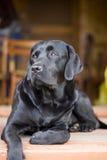 黑色拉布拉多纯血统的动物 免版税库存照片