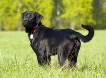 黑色拉布拉多纵向positi猎犬身分 库存图片