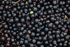 黑色接近的无核小葡萄干 图库摄影