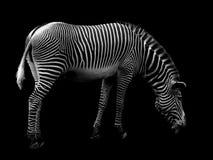 黑色斑马 免版税库存照片