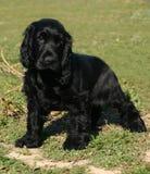 黑色斗鸡家小狗西班牙猎狗 库存图片