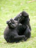 黑色有顶饰短尾猿 库存照片