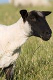 黑色朝向绵羊 免版税库存照片