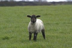 黑色朝向羊羔 免版税库存照片