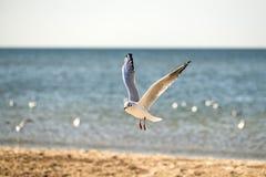 黑色朝向飞行在海滩的鸥 库存照片