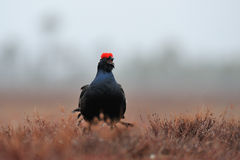 黑色松鸡在雨中 免版税图库摄影