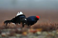 黑色松鸡在雨中 免版税库存照片
