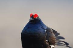 黑色松鸡挤作一团 免版税库存图片