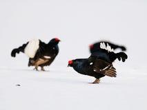 黑色松鸡求爱显示 免版税库存照片
