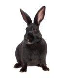黑色查出的兔子 免版税库存照片