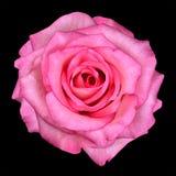 黑色查出的宏观粉红色上升了 图库摄影