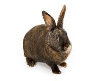 黑色查出的橙色兔子白色 库存照片