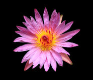 黑色查出的莲花粉红色 免版税库存照片