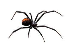 黑色查出的redback蜘蛛白色寡妇 免版税库存图片