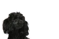 黑色查找年轻人的长卷毛狗 库存照片