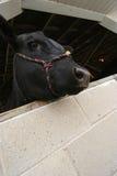 黑色母牛 免版税库存图片