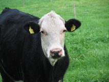 黑色母牛 免版税库存照片