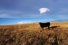 黑色母牛 免版税图库摄影