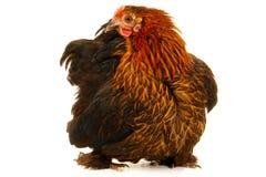 黑色母鸡 免版税库存图片