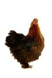 黑色母鸡 免版税图库摄影