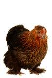 黑色母鸡 库存图片