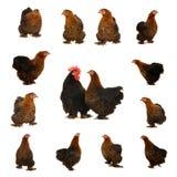 黑色母鸡 免版税库存照片