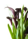黑色水芋属黑暗的百合工厂紫色 免版税库存图片