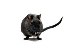 黑色沙鼠 库存图片