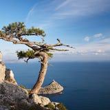 黑色海岸杜松岩石海运结构树 免版税库存图片