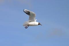 黑色海鸥白色 免版税库存图片